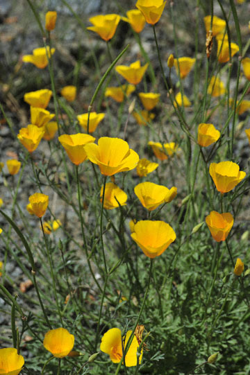 blog 28 Bear Valley via Williams, California Poppy_DSC6497-4.14.16.jpg