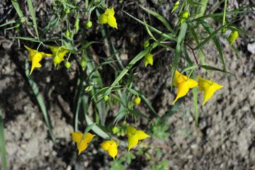 blog 28 Bear Valley, Golden Fairy Lantern (Calochortus amabilis)_DSC6548-4.14.16.jpg