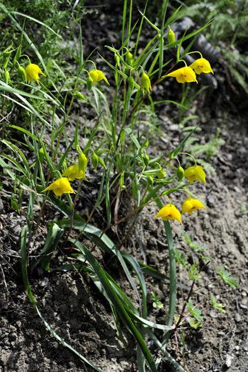 blog 28 Bear Valley, Golden Fairy Lantern (Calochortus amabilis)_DSC6547-4.14.16.jpg