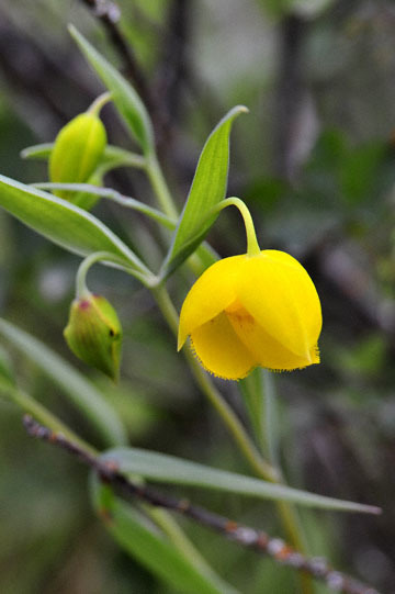 blog 28 Bear Valley, Golden Fairy Lantern (Calochortus amabilis) 2_DSC6568-4.14.16.jpg