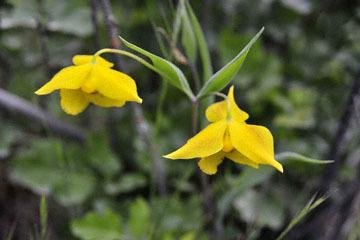 blog 28 Bear Valley, Golden Fairy Lantern (Calochortus amabilis)_DSC6558-4.14.16.jpg