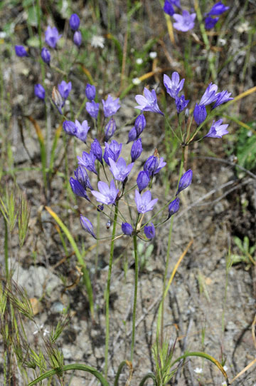 blog 28 Bear Valley, Ithuriel's Spear_DSC6579-4.14.16.jpg