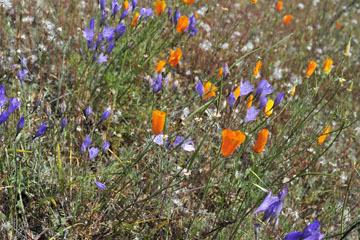 blog 28 Bear Valley, California Poppy & Ithuriel's Spear_DSC6578-4.14.16.jpg