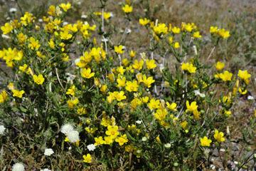blog 10 Mojave to Daggett 58E, Small flowered Blazing Star?_DSC6780-3.19.17.(1).jpg