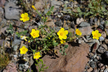blog 10 Mojave to Daggett 58E, Small flowered Blazing Star?_DSC6779-3.19.17.(1).jpg