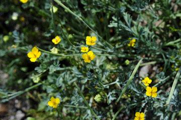 blog 10 Mojave to Daggett 58E, Coville's Poppy-Pygmy Poppy (Eschscholzia minutiflora)_DSC6786-3.19.17.(1).jpg