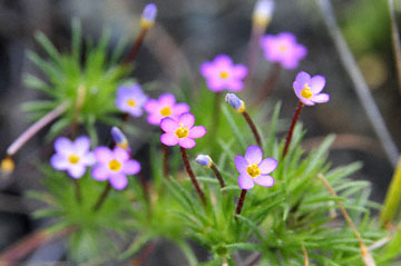 blog 28 Bear Valley, Linanthus 2_DSC6602-4.14.16.jpg