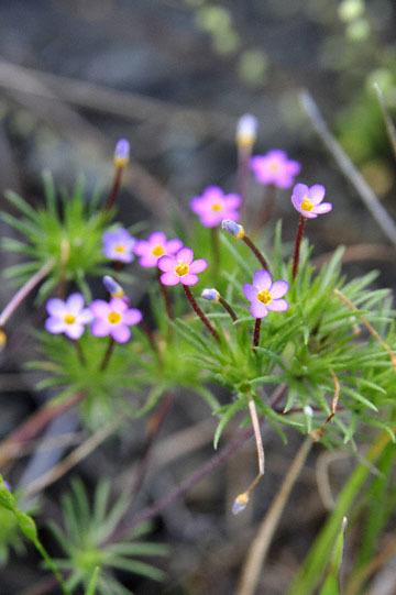 blog 28 Bear Valley, Linanthus 2_DSC6601-4.14.16.jpg