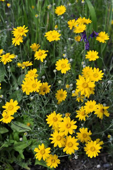 blog 28 Bear Valley, Common Woolly Sunflower 2_DSC6614-4.14.16.jpg