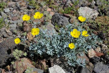 blog 10 Mojave to Daggett 58E, Mojave Poppy (Eschscholtzia glyptosperma)_DSC6796-3.19.17.(1).jpg