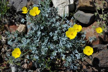 blog 10 Mojave to Daggett 58E, Mojave Poppy (Eschscholtzia glyptosperma)_DSC6791-3.19.17.(1).jpg
