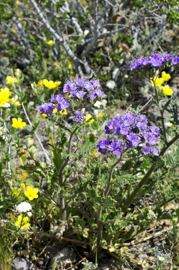 blog 10 Mojave to Daggett 58E, Phacelia & Pincushion 2_DSC6811-3.19.17.(1).jpg