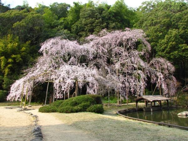 2629曹源寺の枝垂れ桜170330