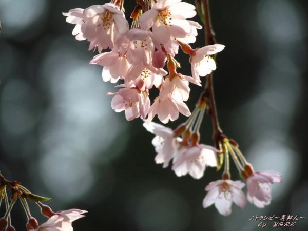2584枝垂れ桜170330