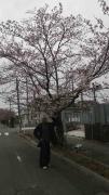 富岡の桜-4
