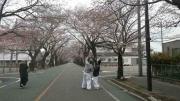 富岡の桜-6