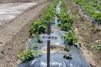 ジャガイモ芽1