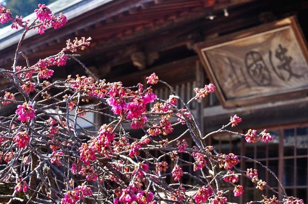 2孝子桜17.02.21