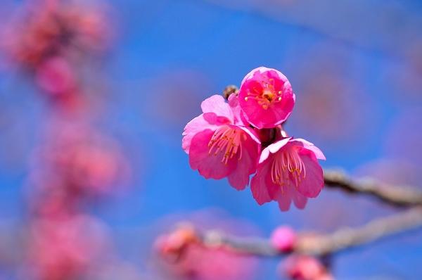 5孝子桜17.02.21