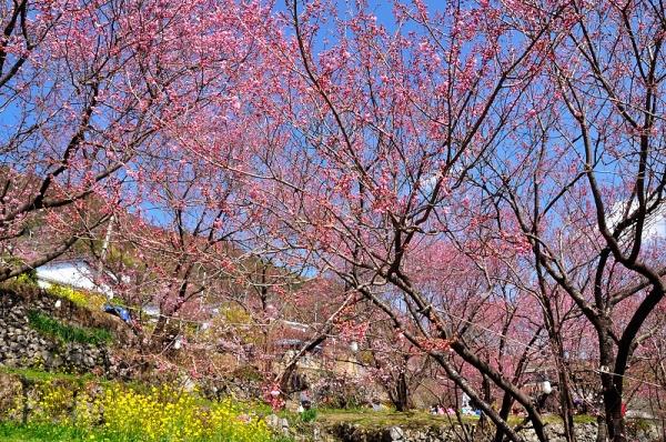 2雪割り桜17.02.27