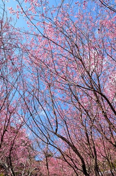 3雪割り桜17.02.27