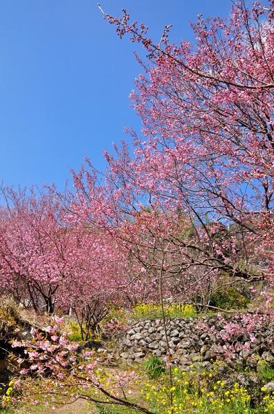 4雪割り桜17.02.27
