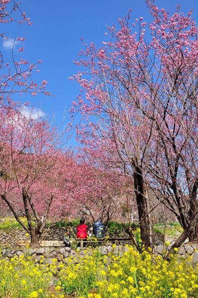 5雪割り桜17.02.27