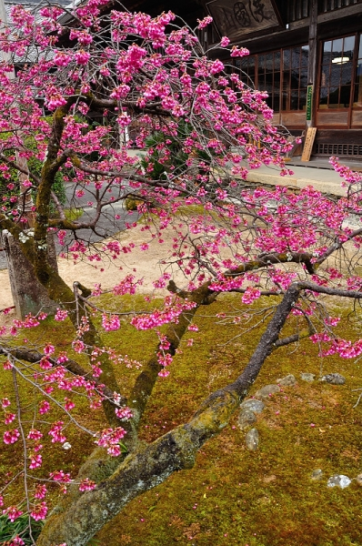 3孝子桜17.03.05