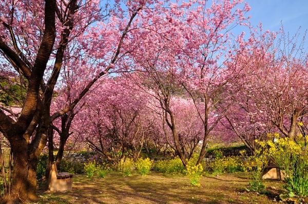 2雪割桜17.03.05