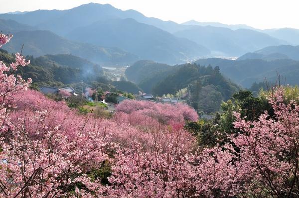 4雪割桜17.03.05