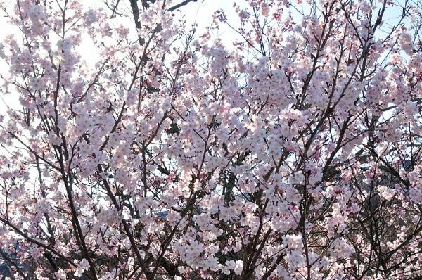 3十六日桜17.03.17