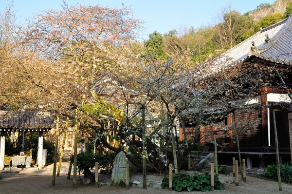 1うば桜17.03.22