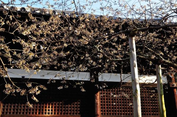 2うば桜17.03.22