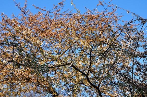 3うば桜17.03.22