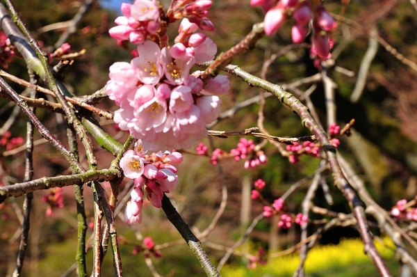 2金龍桜17.03.22
