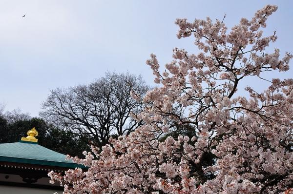 10明正寺桜17.03.22