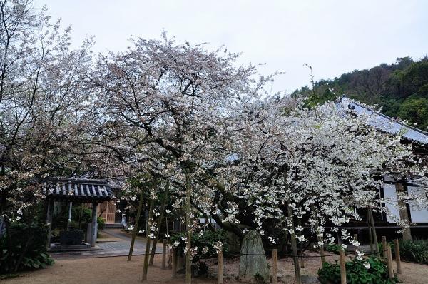 1うば桜17.03.25