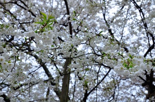 2うば桜17.03.25