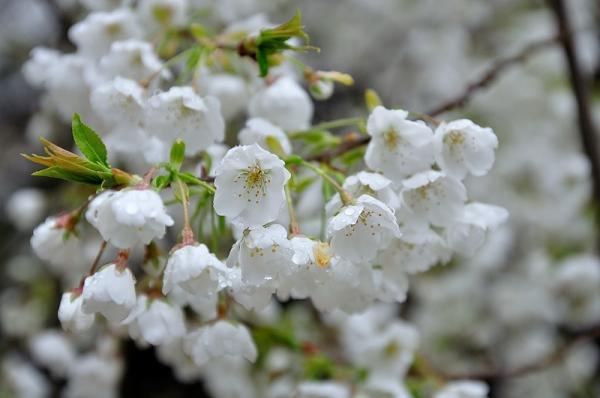 3うば桜17.03.25