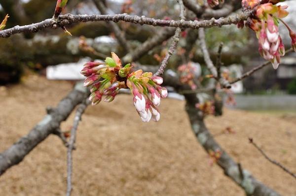 2一樹桜17.03.26