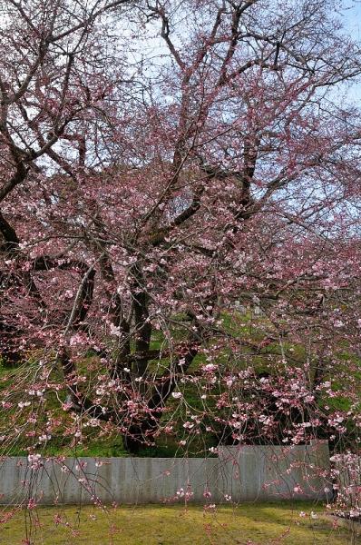 4金龍桜17.03.26