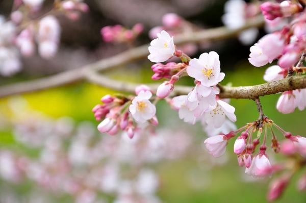 5金龍桜17.03.26