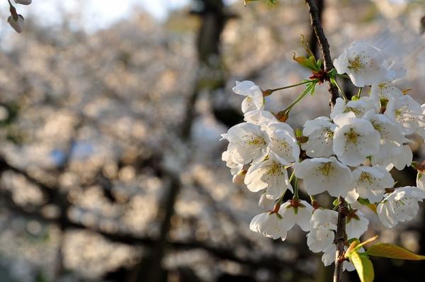2うば桜17.03.26