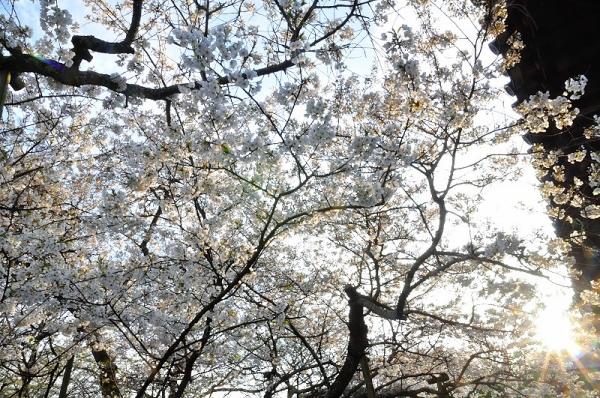 4うば桜17.03.26