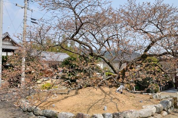 3一樹桜17.03.30