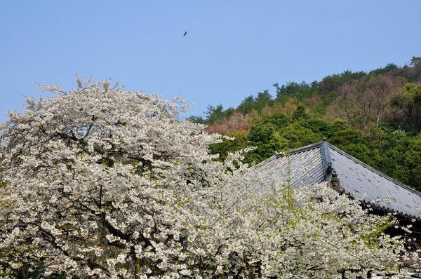 1うば桜17.03.30