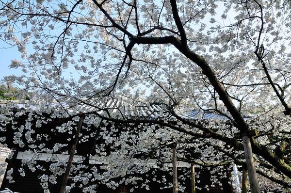 2うば桜17.03.30