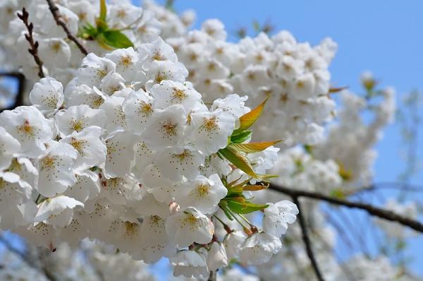 3うば桜17.03.30