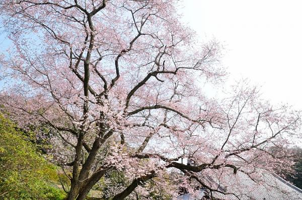 5金龍桜17.03.30