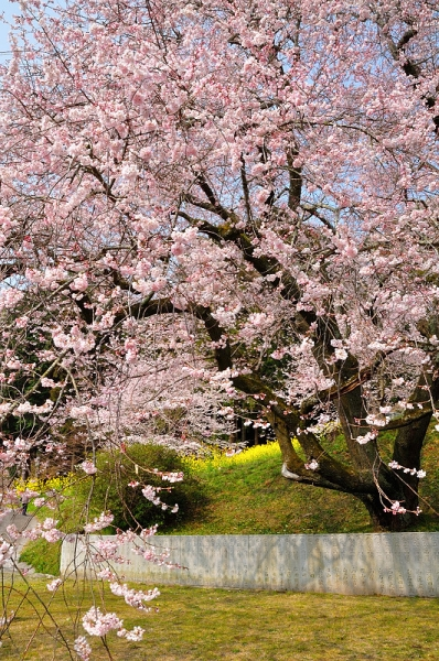 6金龍桜17.03.30